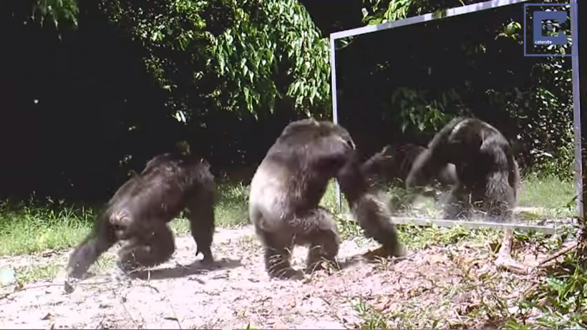 Chimpanzees Attack Their Own Reflection In The Mirror