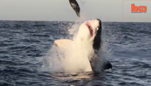 And Now, A Bunch Of Great White Sharks Jump Out Of The Ocean