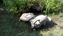 And Now, A Turtle Rescues A Turtle From Being A Turtle