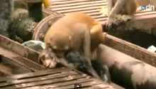 And Now, A Monkey Saves His Monkey Friend's Life
