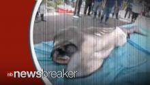 Rare Megamouth Shark Caught Off Coast of Japan