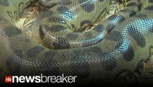SNAKE ATTACK: Python Escapes Private Zoo, Squeezes Two Children to Death