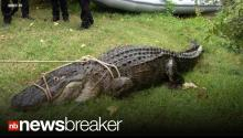 GATOR ALERT: Huge Alligator Eats 80 lb Husky