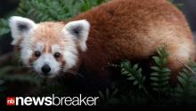 "BREAKING VIDEO: Red Panda ""Rusty"" Missing from National Zoo in Washington, D.C."