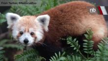 FINDING RUSTY: Rusty the Red Panda Who Vanished From National Zoo Found Safe