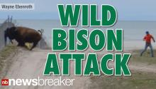 Man Survives 1500 lb. Bison Attack