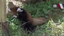 Baby Red Panda Trying to Catch a Butterfly