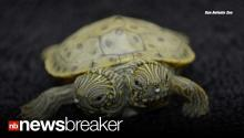 "2 HEADS, 1 SHELL: Two Headed Cooter Turtle 'Thelma & Louise"" Born at TX Zoo"