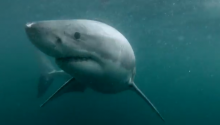 Man Wears GoPro. Man Cliff Jumps. Man Comes Face-To-Face With Great White Shark. NBFD, Right?!