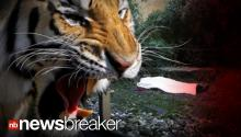 HORRIFYING:Zookeeper Mauled by Siberian Tiger; Zoo Visitors Witness Incident