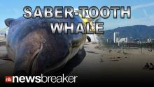 SABER-TOOTH WHALE: Rare Marine Creature Found Washed Up on Southern California Beach