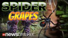 SPIDER GRAPES: Woman Finds Black Widow's on Fruit Bought at Grocery Store