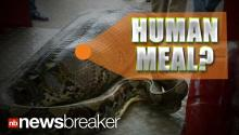 HUMAN MEAL?: Photo of Snake with Huge Bulge Goes Viral Online Sparking Debate