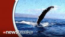 Amazing Video Shows Humpback Whale Bumping into Boat, Swimming Right Underneath