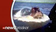 Hippo Terrifies Passenger by Jumping Out of Water Toward Boat