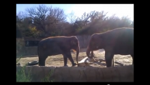 Elephant Really Wants To Break Stick, Can't, Totally Rage Quits