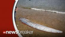 Rare 17-Foot Deep Sea Dwelling 'Oarfish' Washes Up On Southern California Coast