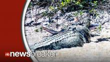 Crocodile Captured Eating Shark; Becomes Local Celebrity