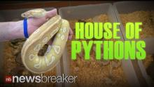 HOUSE OF PYTHONS: Officials Find 400 Snakes and Rodents Living in Man's Residence