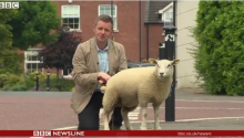 Sheep Goes Wee-Wee On Unsuspecting BBC Reporter