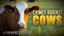 CRIMES AGAINST COWS: Two Men Arrested After Caught on Tape Having Sex with Livestock