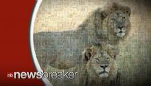 Another American is Accused By Zimbabwe Authorities of Killing Lion in April