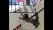 Waxed Floor Foils Cat's Jump