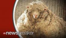 An Australian Sheep Sets Unofficial World Record Shedding 89 Pounds of Wool