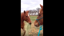 Romantic Horse Brings His Girlfriend Hay