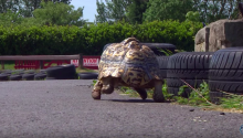 The Fastest Tortoise Alive Makes It Into Guinness Book Of World Records