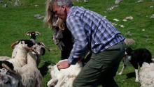 Shearing Sheep and Playing with Puppies in the Scottish Highlands