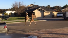 In Suburban Australia, Sometimes, Kangaroos Just Fight On Your Street