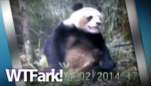 PANDA JOB: Researchers Finally Catch A Panda Masturbating On Film. Wait- Finally?