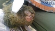 And Now, A Deaf Orphaned Marmoset Gets A Massage With A Toothbrush